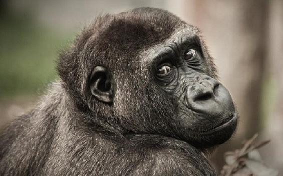chimpanjee.png